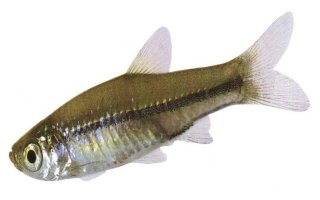 Red-Tail Rasbora
