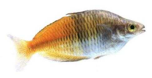 Axelrods rainbowfish for Rainbow fish species
